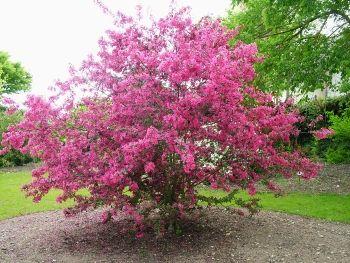 127 best arbres images on pinterest arbre caduc arbres et arbres d 39 ombrage - Arbre feuille rouge toute l annee ...
