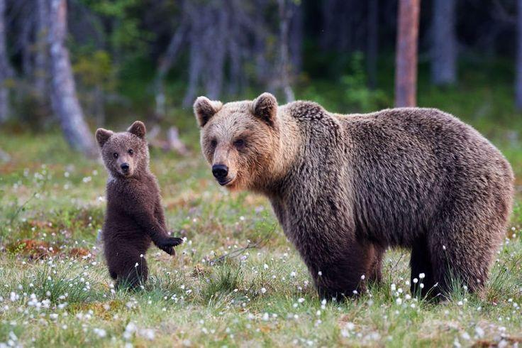 Britanicii promovează frumusețile României. Documentar BBC filmat în lumea urșilor bruni din Munții Făgăraș