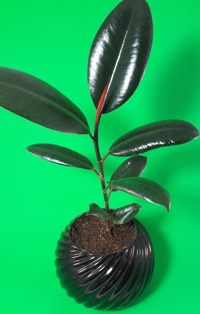 "Burgundy Rubber Tree Plant Ficus 4.5""Pot Ceramic Indoor Office Best Gift Home #BurgundyRubberTreePlant #Custom"