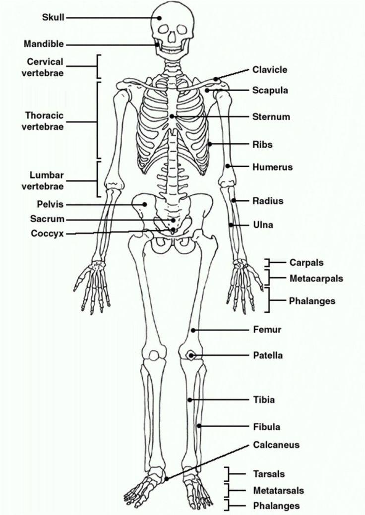 The Skeletal System Worksheet Answers Human Skeleton