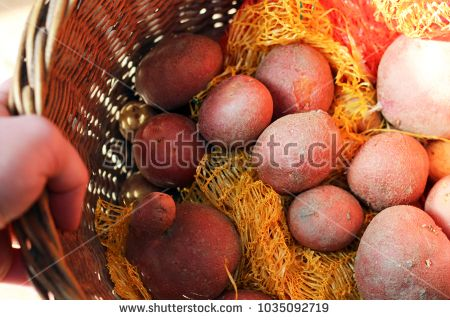 Hand holding a wicker basket with red potatoes, with net bag around.