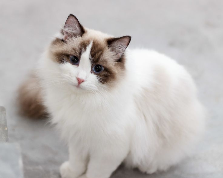 One Day i will own a Ragdoll Cat