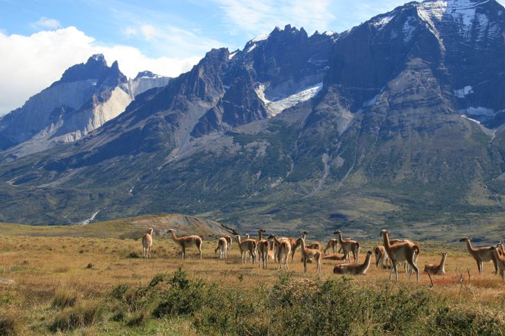 Guanacos in Parque Nacional Torres del Paine, Chile.   Guanacos are related to llamas and camels