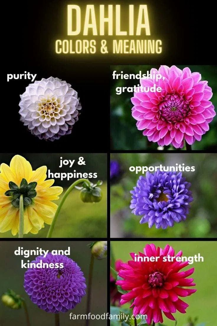 Dahlia Flower Meaning Symbolism The Queen Of The Autumn Garden In 2020 Dahlia Flower Flower Meanings Flowers