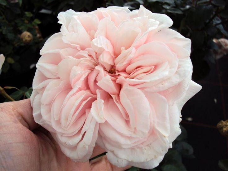 Historische Rose Souvenir de la Malmaison - Züchter Beluze 1843