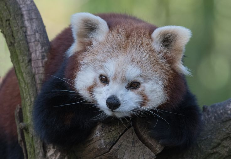 https://flic.kr/p/RAmpgd | roter Panda | ZOO Duisburg