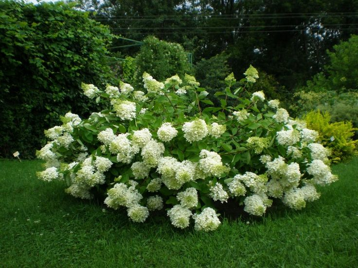hydrangea paniculata 39 grandiflora 39 il giardino che. Black Bedroom Furniture Sets. Home Design Ideas