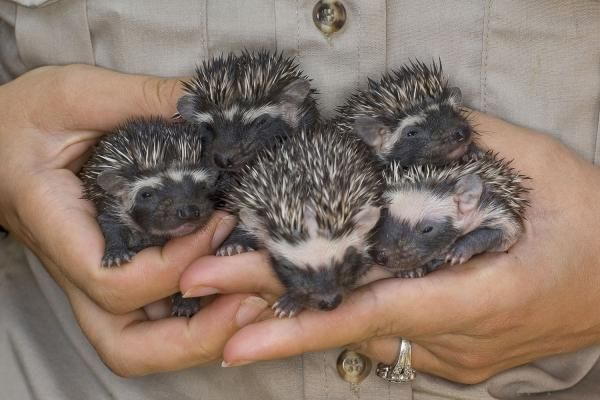 Five baby African hedgehogs are held by a worker in the Children's Zoo at the San Diego Zoo