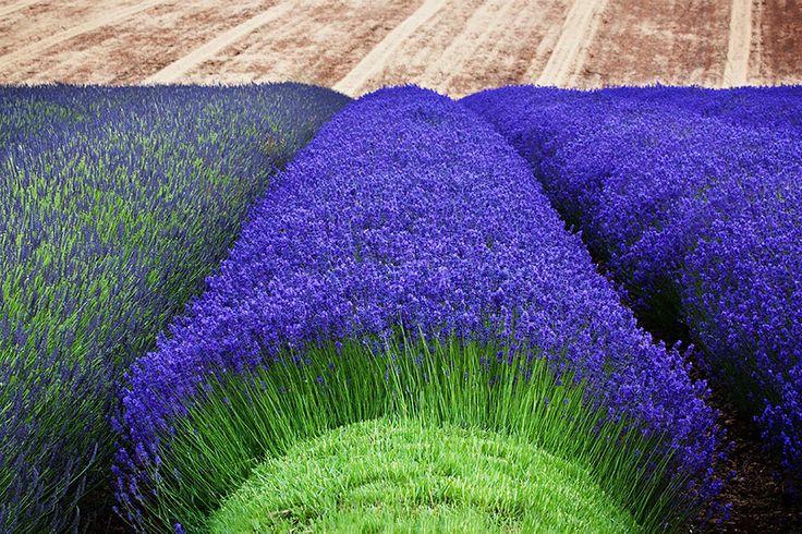 The Hypnotizing Beauty Of Harvesting Lavender