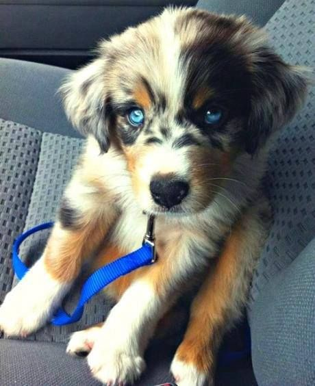 Golden Retriever + Husky = this. or This is an Australian Shepard known as a Blue Healer