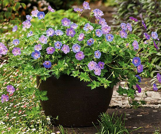 This compact 'Azure Rush' Geranium is ideal for containers. More new perennials: http://www.bhg.com/gardening/flowers/perennials/new-perennials/?socsrc=bhgpin041113azurerush=7