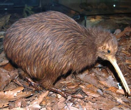Kiwi - Native bird of New Zealand
