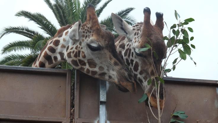 Giraffes - Sharing is caring