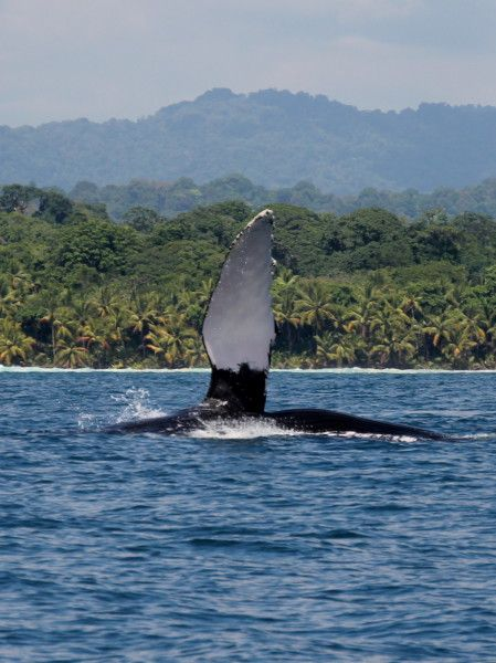 Whale watching off the coast of Dominical & Uvita, Costa Rica