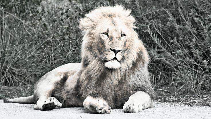 Male Lion in Krugersdorp Game Reserve