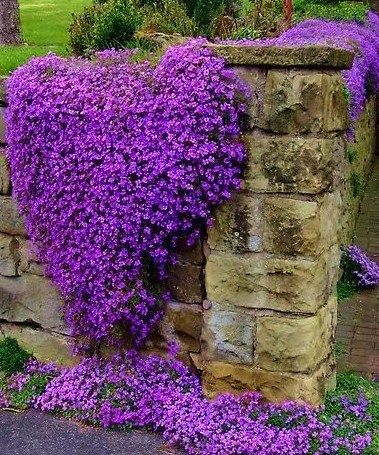 Aubrieta- apparently these are great for slopes and ground cover. Love the purple!