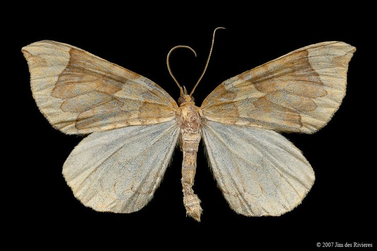 Currant Eulithis Moth (Eulithis propulsata) - Lac Bonin, Quebec - July 21, 2007