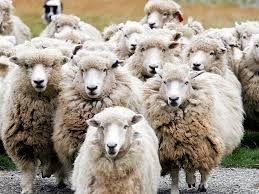 1 Sheep, 2 Sheep, 3....