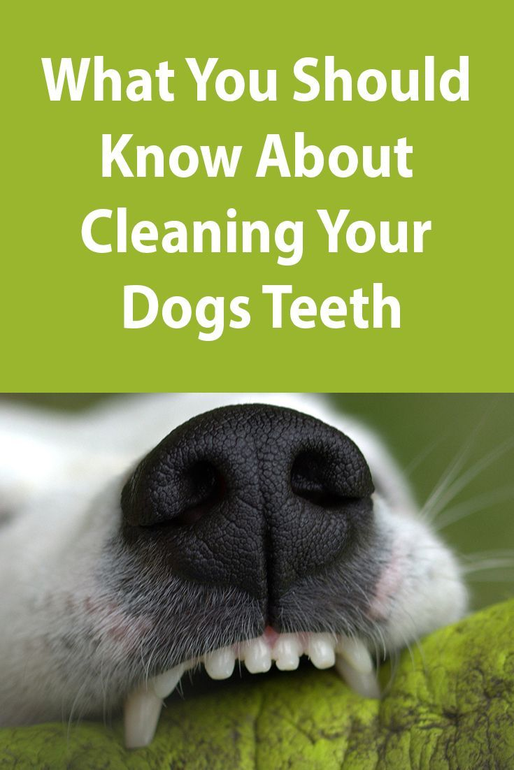 How To Clean Your Dog S Teeth Dog Teeth Dogs Dog Minding