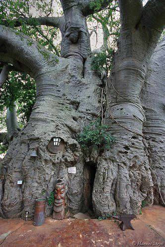 Kelly Haston - Boabab Tree in Sunland Farm,Limpopo Province,South Africa
