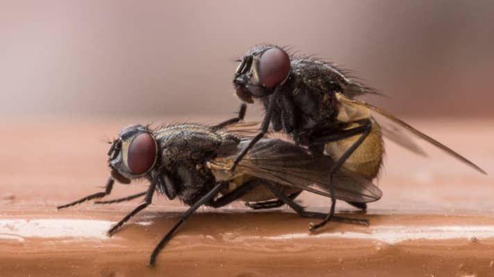 Kruidnagels tegen vliegen