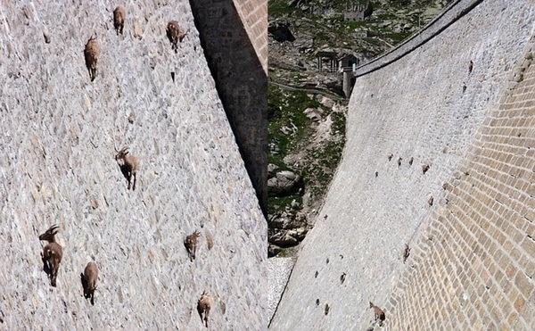 Проводя всю жизнь в лазании по горам, горные козлы достигают в этом невероятной виртуозности, превосходя в скалолазательном мастерстве многих других животных, кажущихся более для этого приспособленными)))