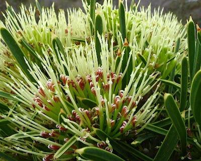 The strongly honey scented Hakea corymbosa or Cauliflower Hakea
