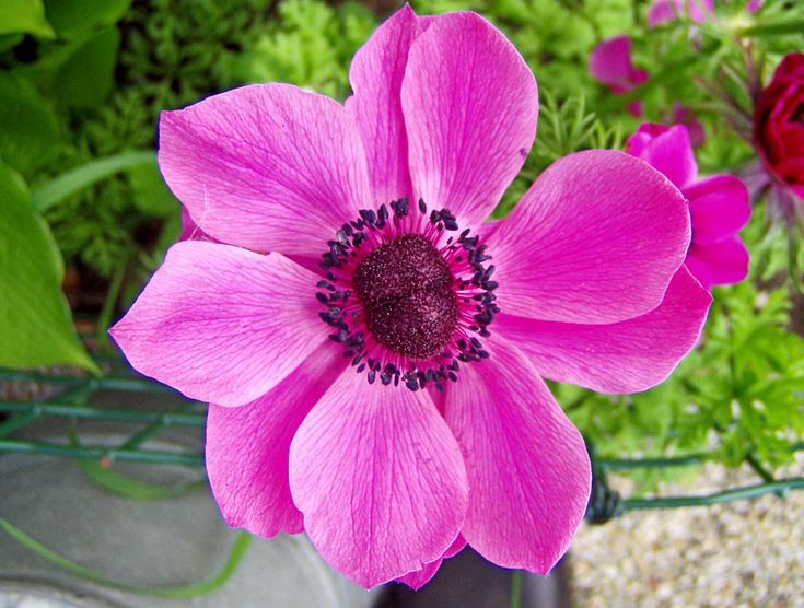 ANEMONE FLOWER PICTURES, PICS, IMAGES AND PHOTOS FOR INSPIRATION