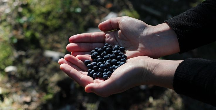 Blueberries in Sweden by blogliebling.dk