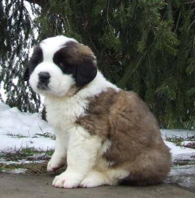 Saint Bernard: St Bernards, Animals, Dogs, Saintbernard, Pet, Puppys, Saint Bernards, Saint Bernard Puppies