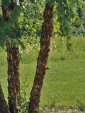 NPIN: Betula nigra (River birch)