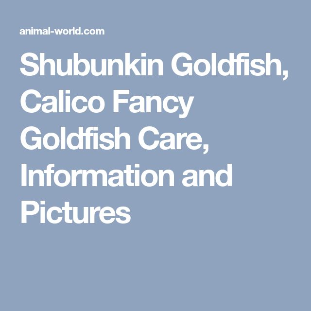 Shubunkin Goldfish, Calico Fancy Goldfish Care, Information and Pictures