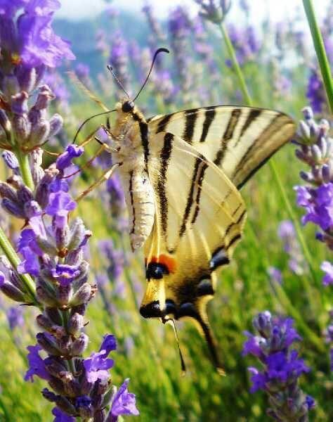 Una meravigliosa farfalla - Katia