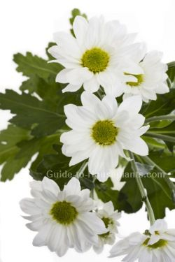 Florist Chrysanthemum - Chrysanthemum morifolium - Picture, Care Tips