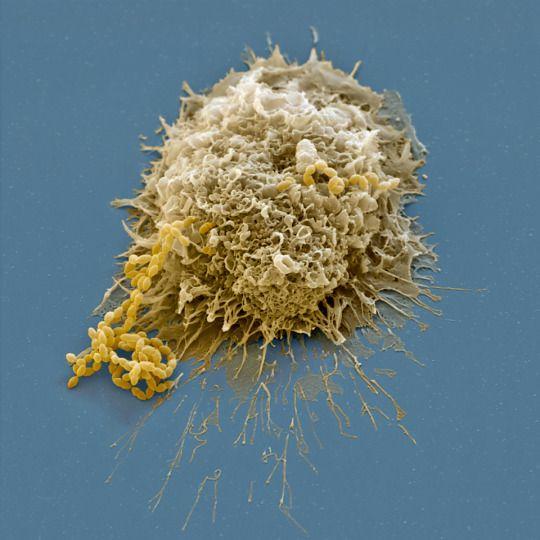 fermenti lattici stimola l'attività dei macrofagi