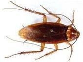 kakalak böceği hakkında bilgi ve kakalak böceği ilaçlama uygulamalrı