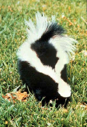 Remove Skunk Smell from Pets - I hope i never need this!