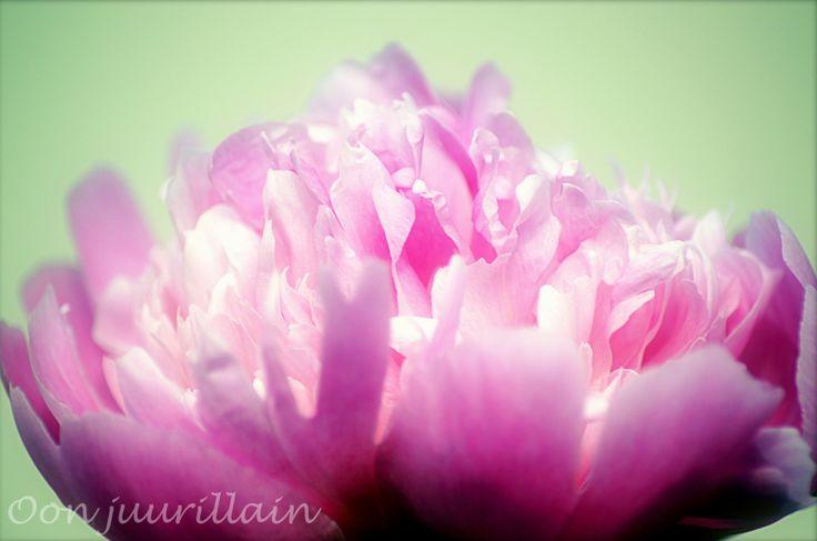 Vaaleanpunaisuus.