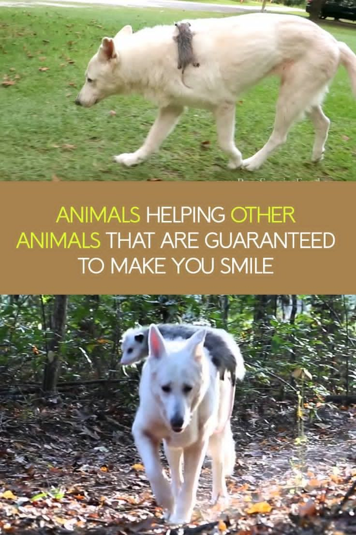 Here Is A Photo Compilation Of Amazing Animals Helping Other