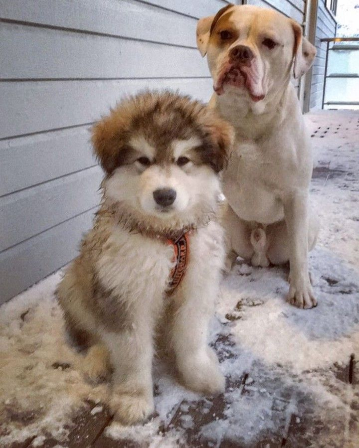 Bff  via @americanbulldogalbert #bulldog #amerikanskbulldog #ambull #ambulldog #bullypics #dog_features #hund #hundebilder #dogphotography #dogportrait #dogs #dogsofinsta #dogstagram #dogsofinstgram #hundeliv #animal #animales #animalprint #pets #petsofinstagram #petsagram #kjæledyr #love #family #lovedogs #ilovemylife @send_dog @sendadogphoto @instapuppygrams @sendmeadogphoto @sendadogphoto123 #norway #bully  #alaskanmalamute #polardog