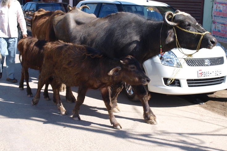 Cows in Punjab India Pinterest Buffalo, Nice and We