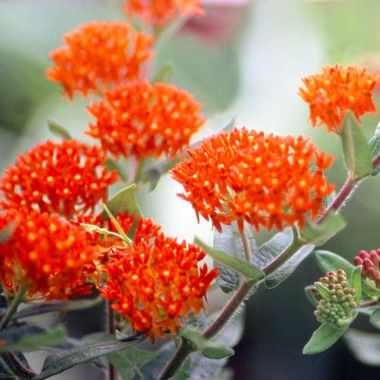 Easy Flowers that Hold Up to Summer Heat in the MidwestWin Landscapes, Landscapes Plants, Butterflies Weed, Asclepias Tuberosa, Easy Flower, Weed Asclepias, Gardens, Gardening, Summer Heat