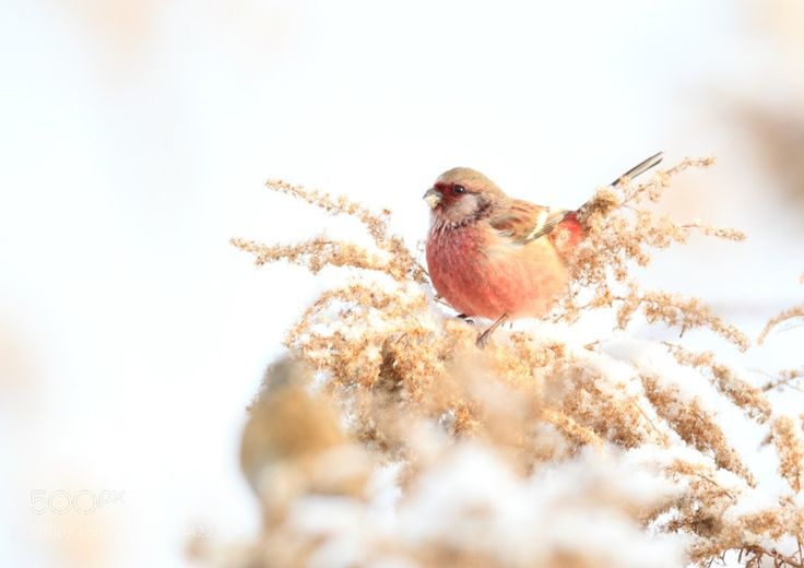 Nature : ベニマシコ Long-tailed Rosefinch - granheime1188g. #Pinterest #photo #photography #landscape #people #girl #girls #hot #naked #cute #food #sport #travel #dress #fashion