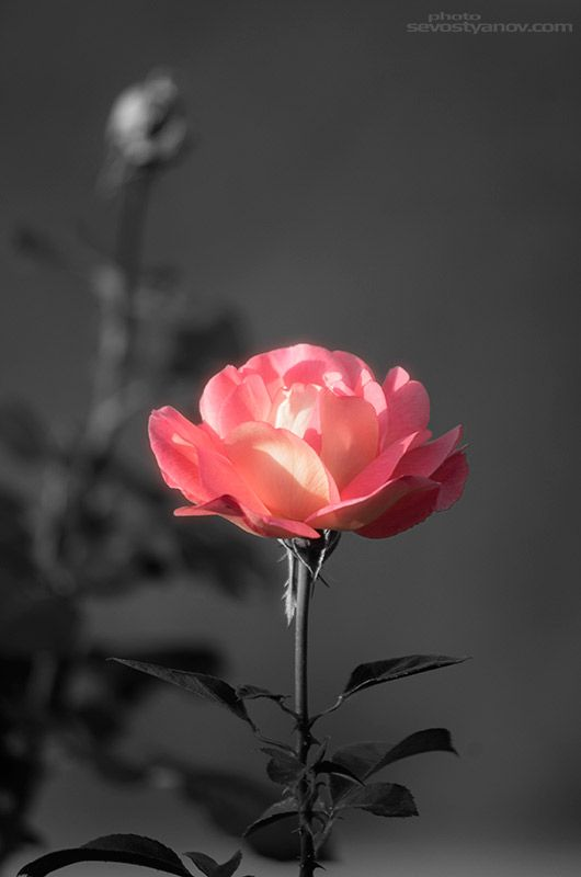 """Delicate Rose, From """"Flowers"""" interior photo print collection."""