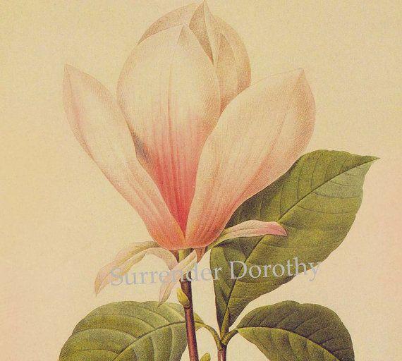 Magnolia Soulangiana Flower Vintage Botanical Print By Redoute