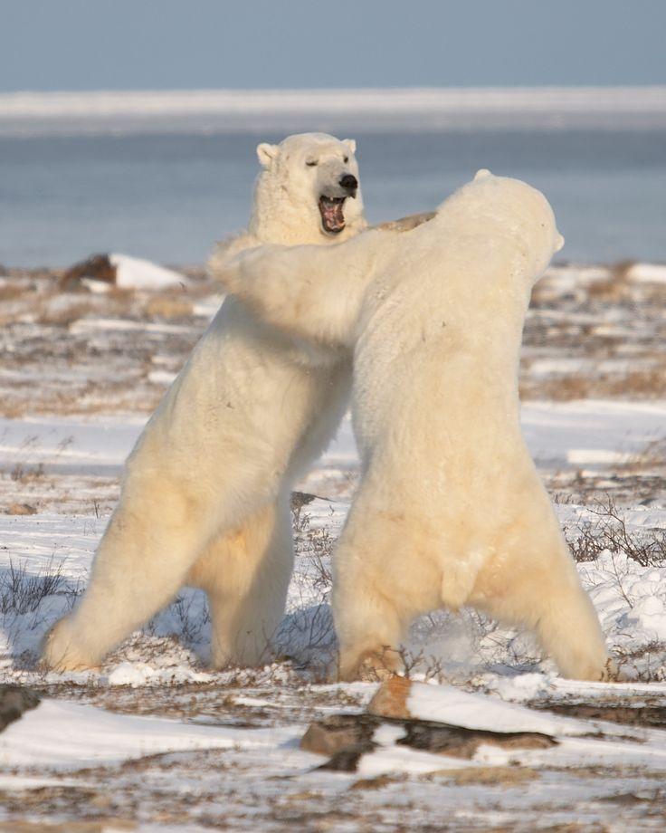 Churchill, Manitoba, to see the polar bears