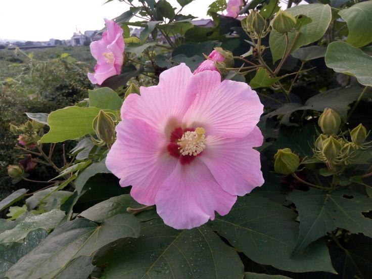 Las flores de mi barrio 🌸 僕の近所の花 🌻✨ #Japón #日本 #おはようございます #花