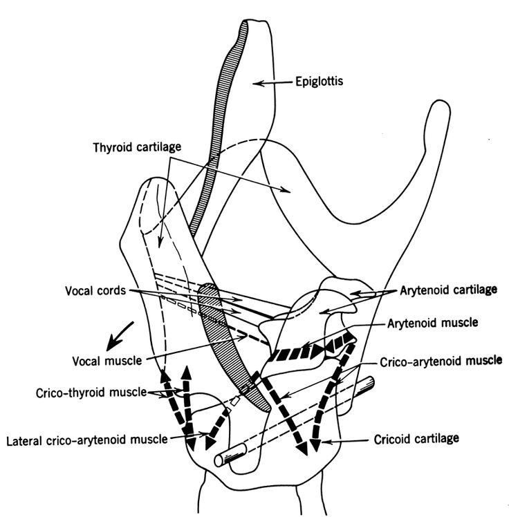 1000  images about larynx anatomy on pinterest