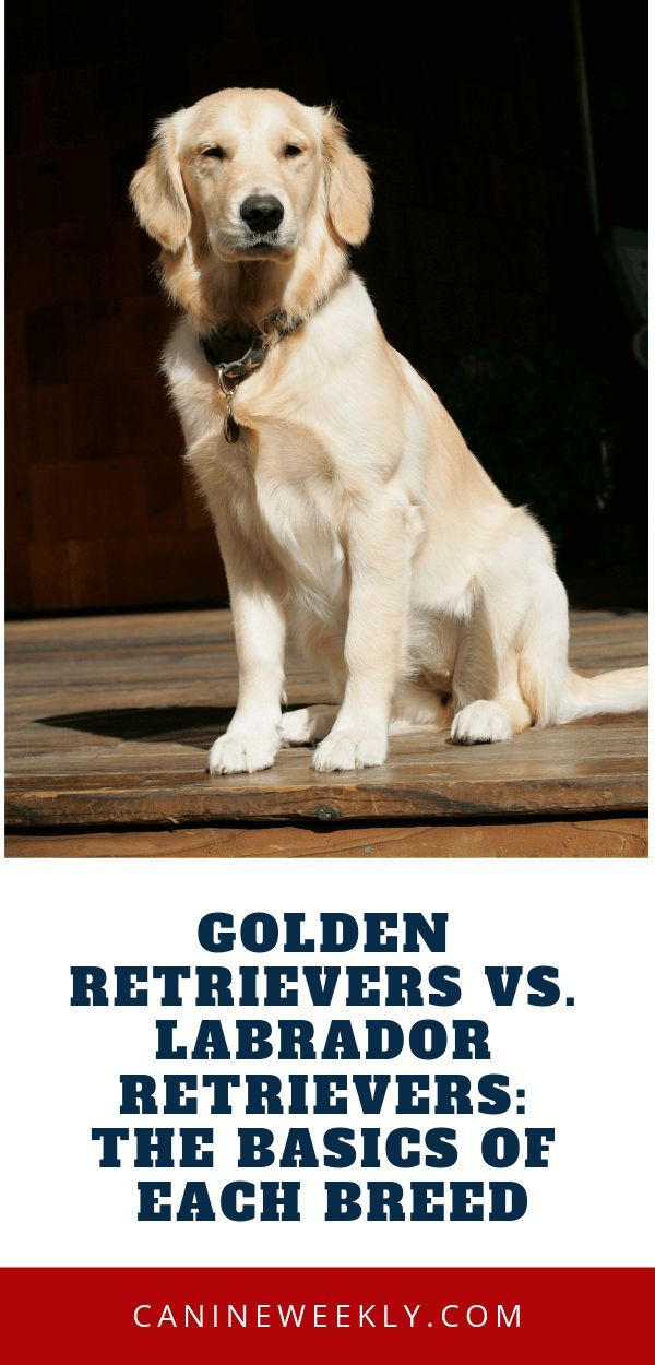 Labrador Vs Golden Retriever Which Breed Is Best For You