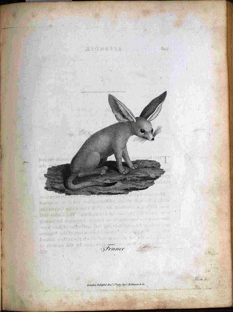 Fennec. From Select Specimens of Natural History, Collected in Travels to Discover the Source of the Nile, in Egypt, Arabia, Abyssinia, and Nubia. James Bruce, 1790